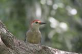 Yucutan woodpecker