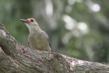 Yucutan woodpecker