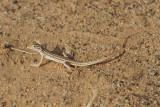 Snake-tailed fringe toed lizard