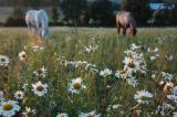 daisies with horses