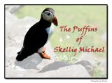 The Puffins of Skellig Michael