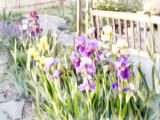 Irises And Park Bench 3
