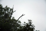 Bird of Paradise - Brown Sicklebill