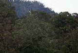 Bird of Paradise - Ribbontail Astrapia