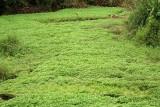 Cilantro Crop