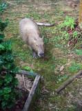 Capybara Rodent