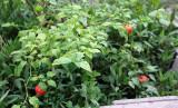 Sweet Pepper - Aji Dulce
