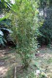 Cocoa Bush