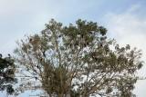 Hoatzins in Tree