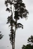 Oropendolas Nests