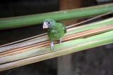 Baby Parrot