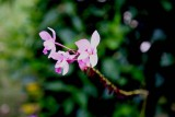 orchids_id