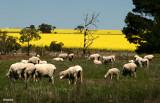 9885-canola-sheep