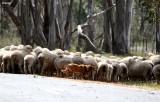 9988- working sheepdog, road to Nhill