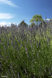 2158- lavender in yarra ranges