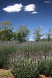 2160- lavender in yarra ranges