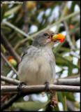 Mistletoebirds
