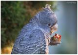 Parrots, Cockatoos and Lorikeets
