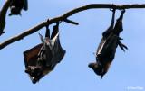 4201-flying-foxes-hb.jpg