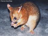wild possum eating