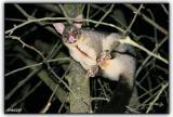 wild possum