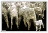 LIVESTOCK - FARM ANIMALS