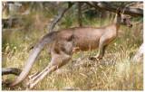 5085-kangaroo