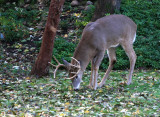 White Tailed Deer Has Breakfast