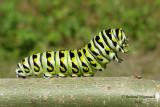 4159 - Black swallowtail - Papillon du celerie - Papilio polyxenes asterius m10