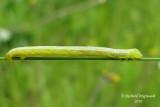 6258 - Fall cankerworm - Alsophila pometaria m10