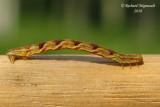 7474 - Common Eupithecia - Eupithecia miserulata 1m10