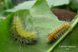 8140 - Fall Webworm Moth - Hyphantria cunea 3m9