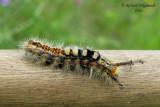 8308 - Rusty Tussock Moth - Orgyia antiqua caterpillar 2m10