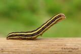 10304 - Striped Garden Caterpillar Moth - Trichordestra legitima m10