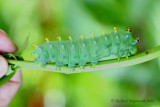 7767 - Cecropia Moth - Hyalophora cecropia caterpillar 1 m8