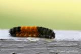 8129 - Isabella Tiger Moth - Pyrrharctia isabella m7