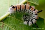 9203 - Fingered Dagger Moth - Acronicta dactylina m4