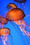 Monterey Bay Aquarium 077cr2sf.jpg