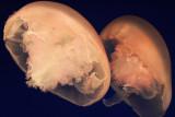 Monterey Bay Aquarium 068cr2sf.jpg