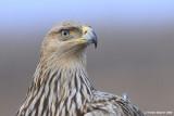 Imperial Eagle Aquila heliaca 3222
