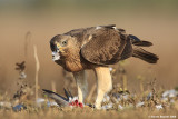 Bonelli's Eagle Hieraaetus fasciatus 3140