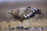 Imperial Eagle Aquila heliaca 3221