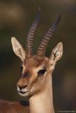 Gazella gazella 6234