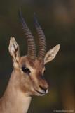 Gazella gazella 6229