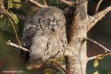 Scops owl 6254