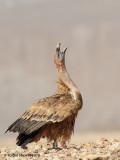 Griffon Vulture 4373