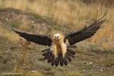 quebrantahuesos  BEARDED VULTURE 2085