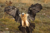 quebrantahuesos  BEARDED VULTURE 2086 ôøñ