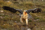 quebrantahuesos  BEARDED VULTURE 2087 ôøñ