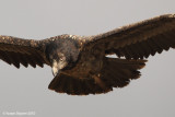 BEARDED VULTURE 2510 ôøñ